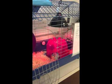 Hedgehog false hibernation and temperature settings
