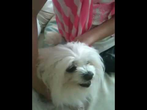 Maltese does not want eyes clean