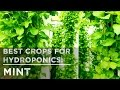 Best Crops for Hydroponics: Mint