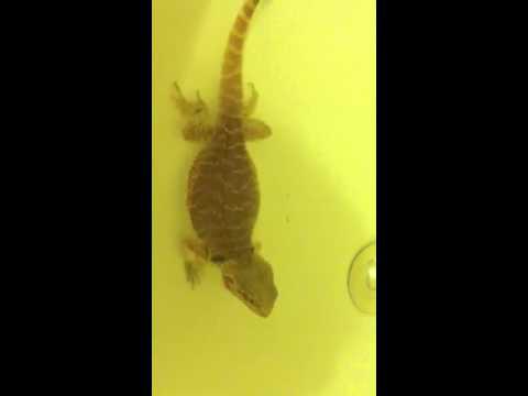 Bearded dragon pooping