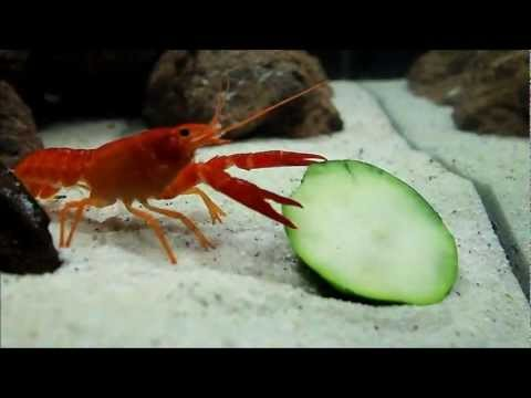 Crayfish Eating Zucchini - Freshwater Nano Cube Aquarium (Day 16)