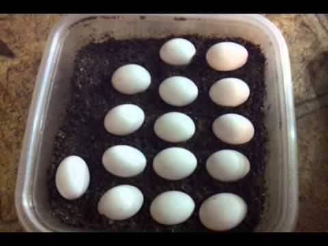 Bearded dragon eggs 30 days incubating.