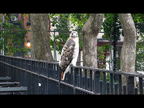 Adult red-tailed hawk catches a rat in Tompkins Square
