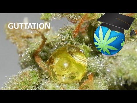 Xylem Sap on Cannabis & Is It Psychoactive? + Mars Hydro LED Grow Journal Intro