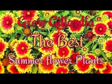 How to Grow GAILLARDIA at Home and Garden in a easy Way