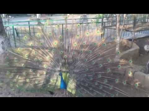 Beautiful peacock with open feathers