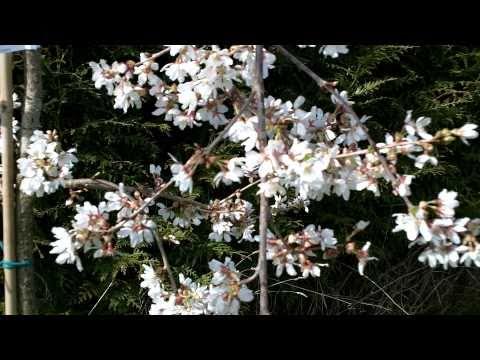 Prunus Snow Showers