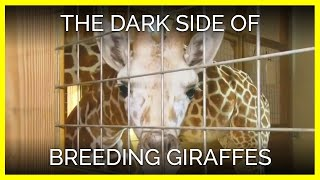 Download The Dark Side of Breeding Giraffes for Entertainment Video