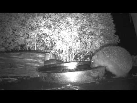 Drinking hedgehog