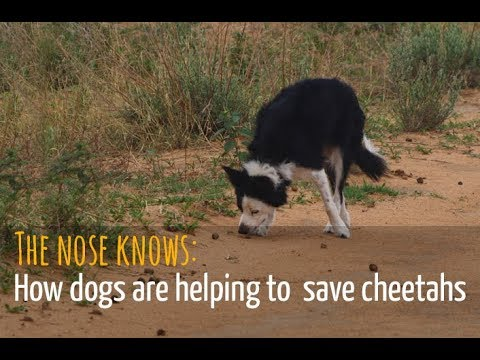 The nose knows: How dogs are helping to save cheetahs
