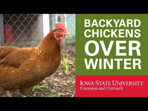 Backyard Chickens: How to Keep Your Chickens in Winter