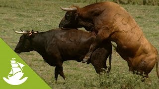 The bull's role in the reproductive process