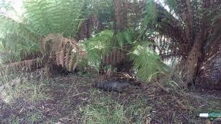 Tasmanian Platypus buries himself