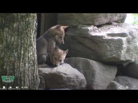 Adorable 5-Week-Old Red Wolf Pups