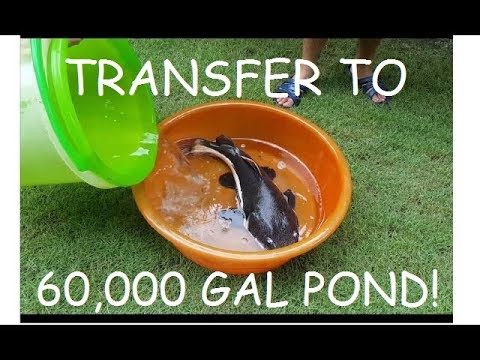 Part 3: TRANSFER MONSTER FISH TO 60,000 GALLON POND!