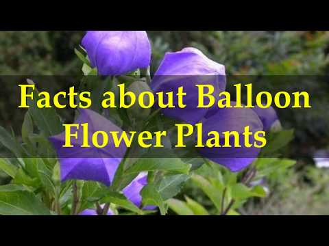 Facts about Balloon Flower Plants