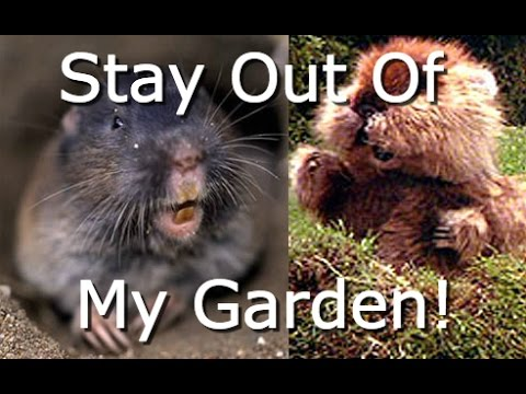The Ultimate Gopher Stopping Method! DIY-How To Stop Moles, Voles & Gophers