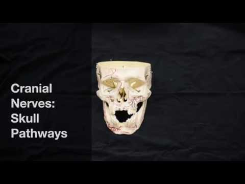 Cranial Nerves: pathways through the skull
