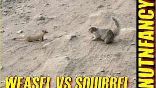 Weasel vs Ground Squirrel: Nature