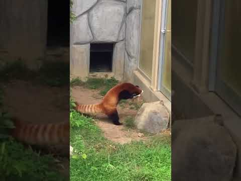 Red Panda Stands Up After Being Scared by Rock - 955362