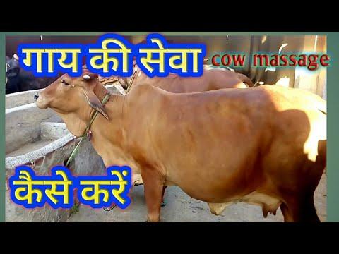 Desi Cow, Sahiwal Cow Massage at Dairy Farm in India Hindi.