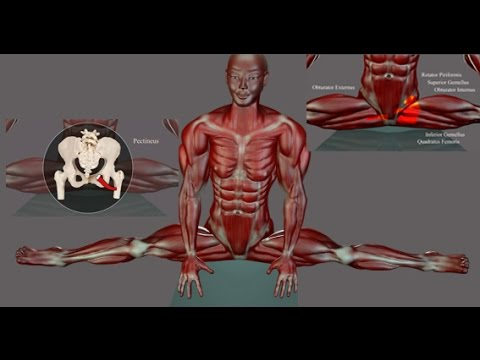 Side Splits Straddle Stretching Anatomy EasyFlexibility Muscle Diagram  ElasticSteel