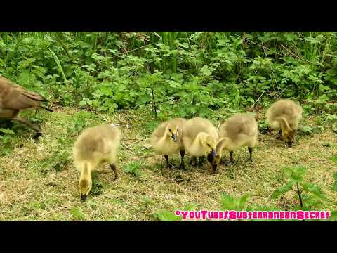 Cranky Canada Geese and Their Babies