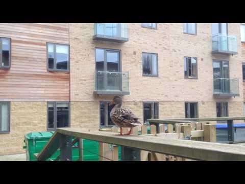 CLIVE BOOTH POSTGRADUATE CENTRE, OXFORD BROOKES- DUCK MADNESS
