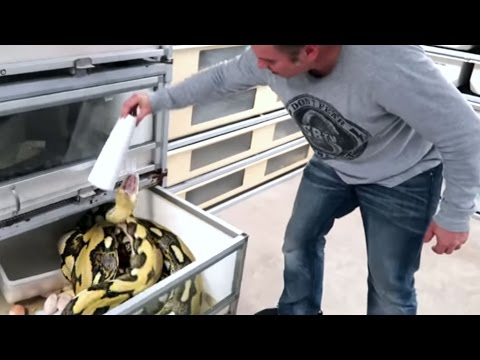 PISSED OFF HUGE SNAKE LAYS EGGS! SCARY EGG REMOVAL : | BRIAN BARCZYK