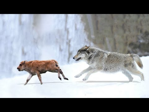 Bison vs Wolf | Amazing Baby Bison Defeat Wolf & Escape Successful