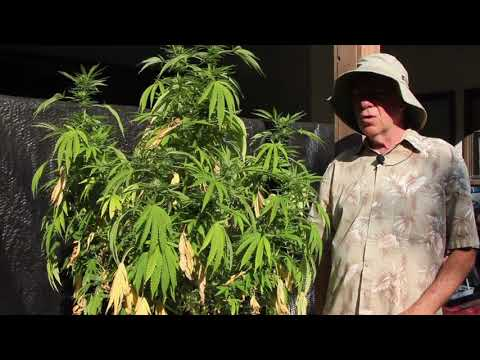 Xxx Mp4 WHY MARIJUANA LEAVES TURN YELLOW DURING THE FINAL STAGE OF FLOWERING 3gp Sex