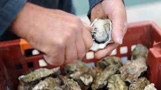Danish beach overrun with giant oysters