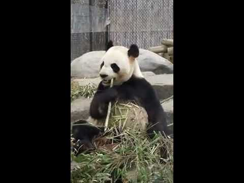 Saying Bye to the pandas in the Toronto Zoo