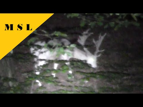 WHITE DEER STAG on a Night Scout With the Thrunite Catapult V5