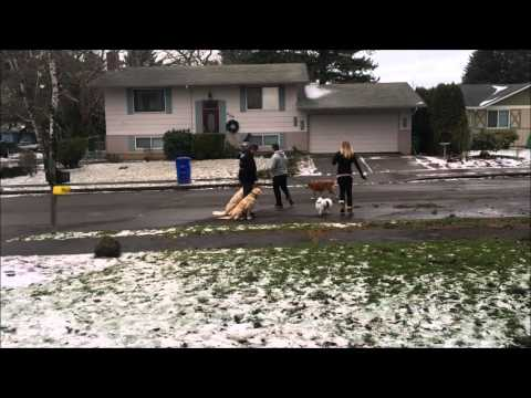 Golden Retrievers Before and After Video; Best Dog Training in Portland, Oregon