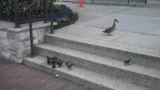 Ducklings vs. Stairs