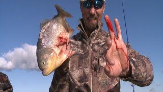 Download Piranha bites finger half off stupid guy. Video