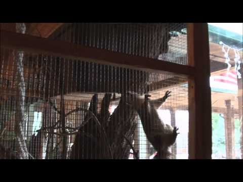 Baby Squirrel Project - Day 85 - The New Large Cage at Squirrel Creek Lodge