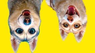 DOGVLOG: ХАСКИ ПОПАЛИ В МИР НАОБОРОТ! (Хаски Бандит) Говорящая собака