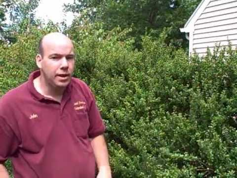 Newtown CT Landscaper | How to Prune Japanese Holly | Prune Evergreen Shrubs