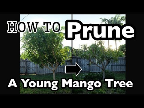How to Prune a Young Mango Tree in 20 minutes!