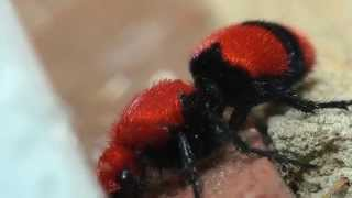 Download Cow Killer Wasp Investigated By An Ant Video