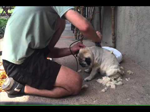 How to Shave a Pug:  Step by Step Tutorial