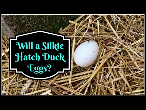 Will a Silkie Hatch Duck Eggs??