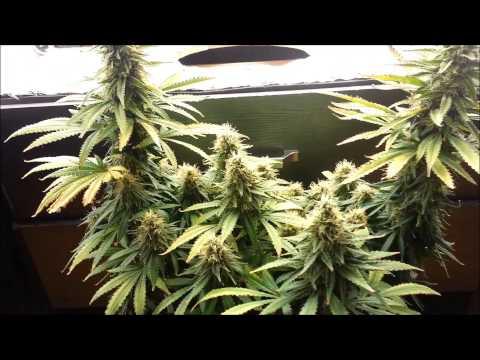 Stealth CFL Dresser Veg. to Harvest