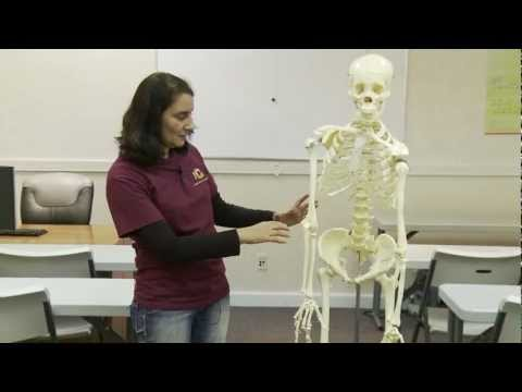 Skeleton Anatomy and Physiology Review Bones 01