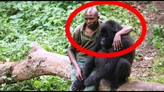 This Fearless Man Comforts A Gorilla Who Just Lost Her Dear Mom…