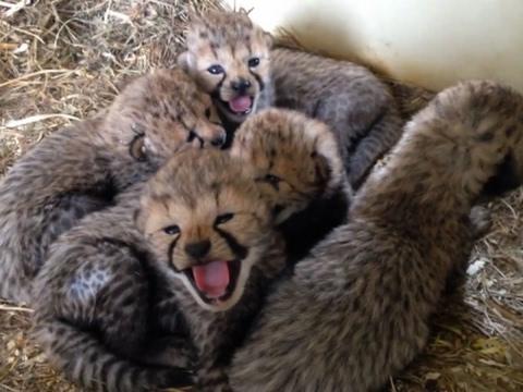 Raw: Cheetah Cubs Born in Virginia Make Debut