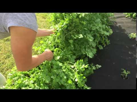 How to Harvest Cilantro