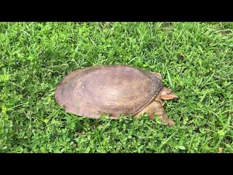 Angry Florida soft shell turtle that crossed the street